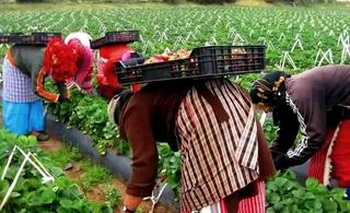 شروط تشغيل عاملات فلاحيات موسميات في حقول اسبانيا تثير انتقادات واسعة على مواقع التواصل الاجتماعي Oa_ioa10