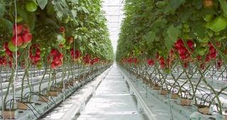 شركة كبرى لانتاج الفواكه والخضروات (الطماطم) توظيف 40 عامل فلاحي براتب 75 درهم لليوم مع امتيازات صحية و اجتماعية Recrut34
