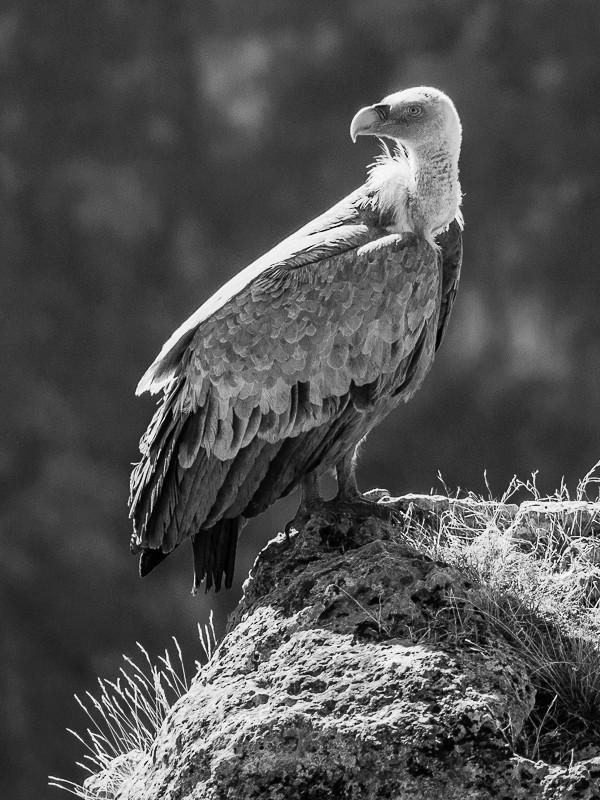 Un jeune vautour V2-110