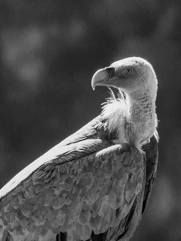 Un jeune vautour V2-610
