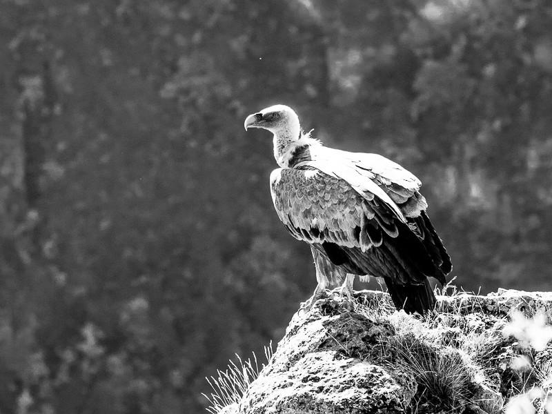Un jeune vautour V3-110