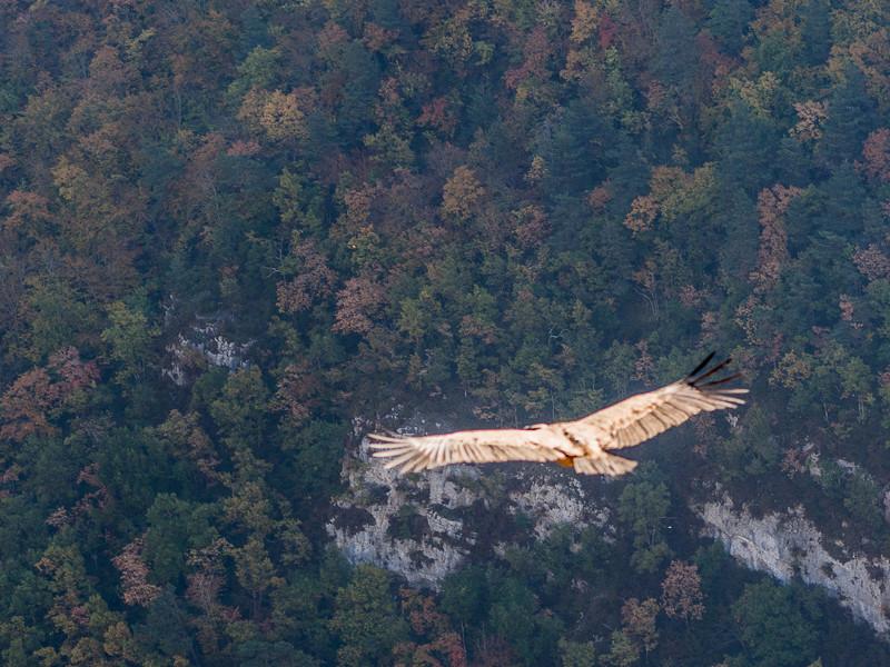 Un jeune vautour V5-110