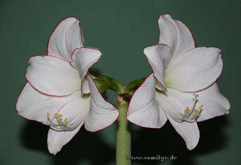 Amaryllisgewächse - Amaryllidaceae (Hippeastren, Nerine, Amaryllis, Agapanthus und auch Allium & Narzissen) - Seite 38 Picote10