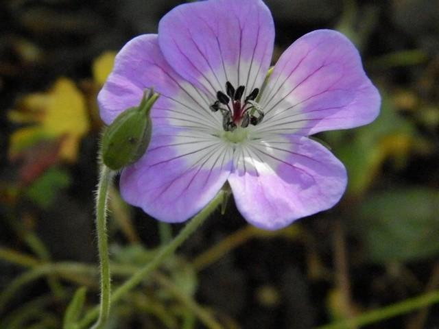 geranium vivace - Page 10 Geranc10