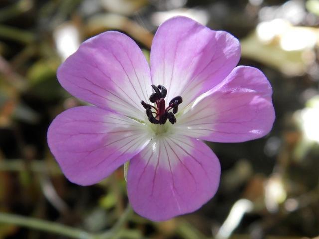 geranium vivace - Page 10 Geranc11
