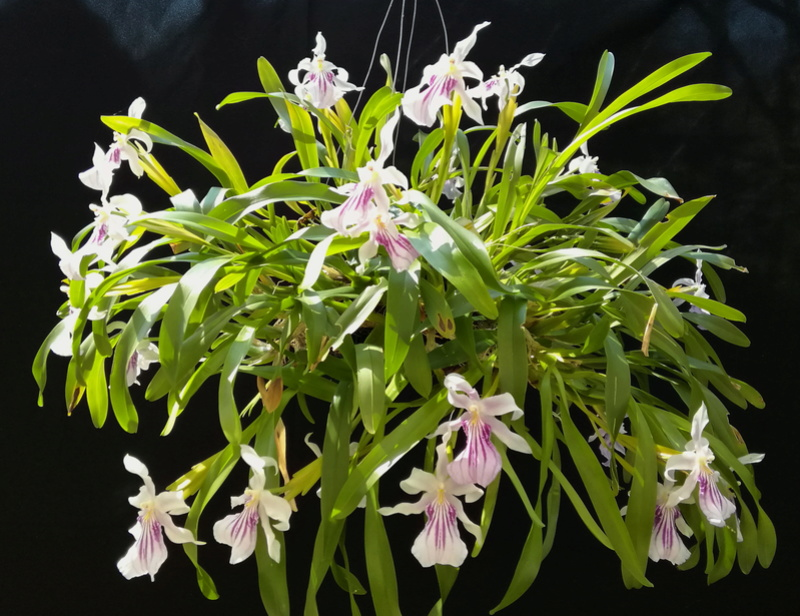 Miltonia spectabilis  Milt_s10