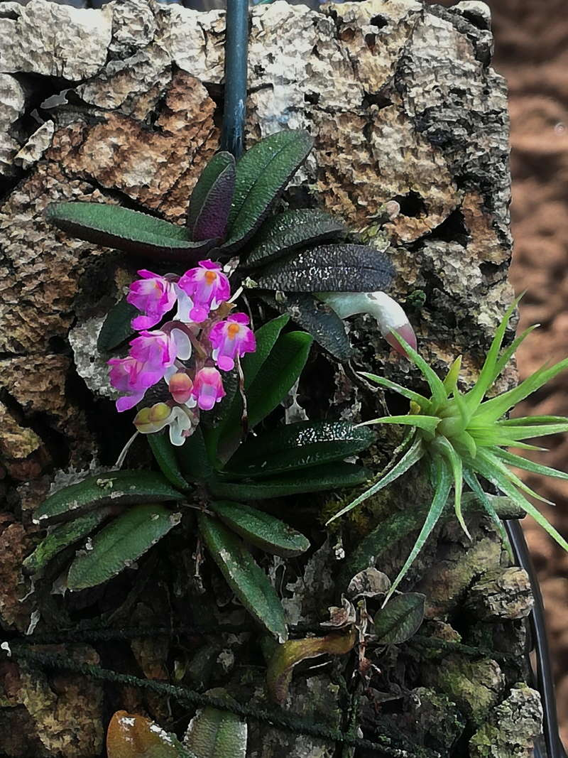 Schoenorchis - die Gattung der Microorchideen Schoen10