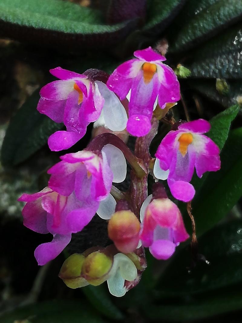 Schoenorchis - die Gattung der Microorchideen Schoen11