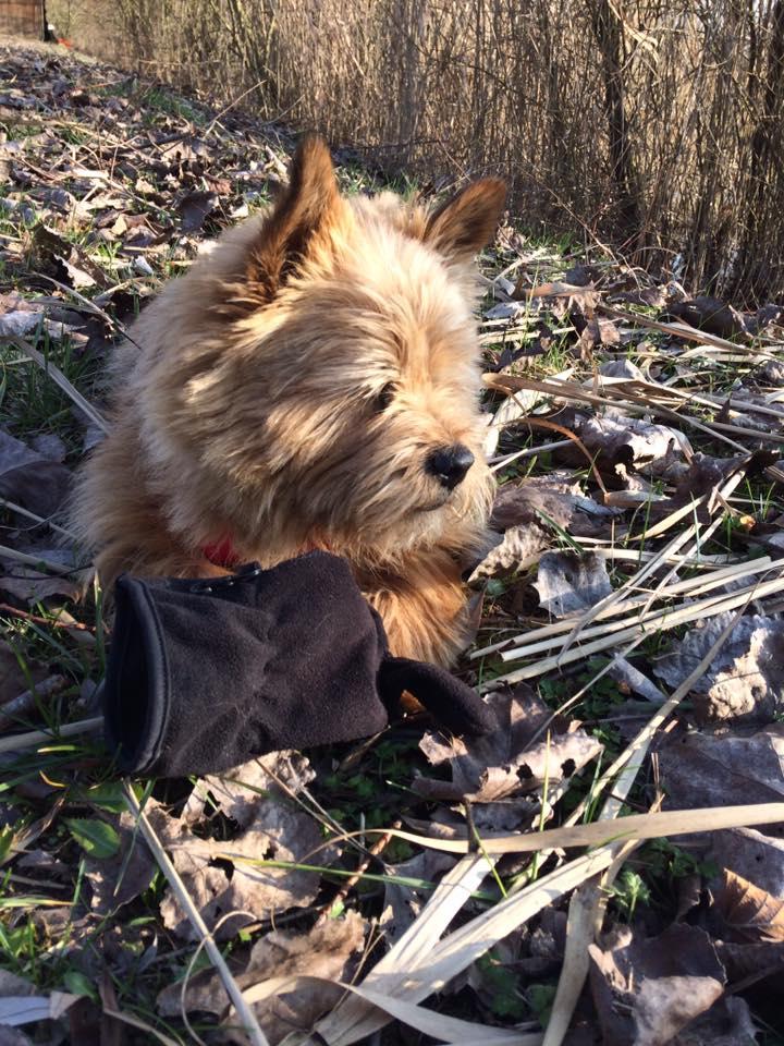 Hamy, ma petite Norwich terrier 28059310