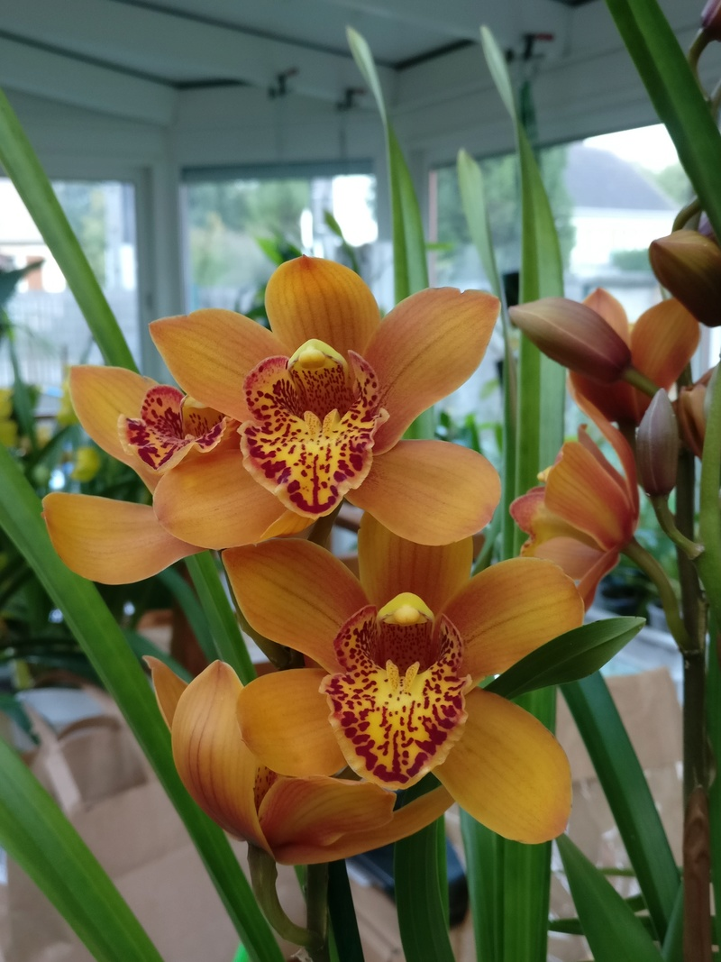 Cymbidium orange Img_2017