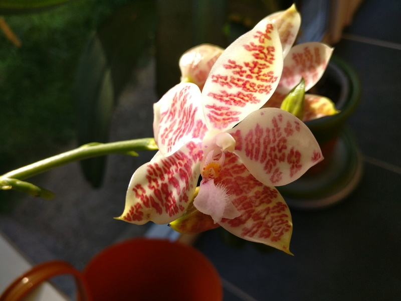 phalaenopsis Hieroglyphica x hieroglyphica Img_2027
