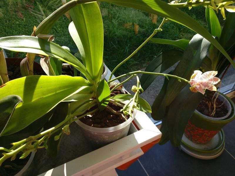 phalaenopsis Hieroglyphica x hieroglyphica Img_2028