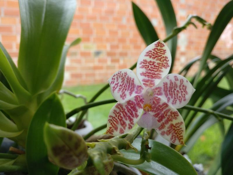 phalaenopsis Hieroglyphica x hieroglyphica Img_2065