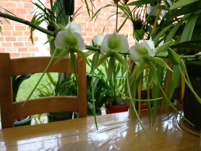 angraecum eburneum Img_2092