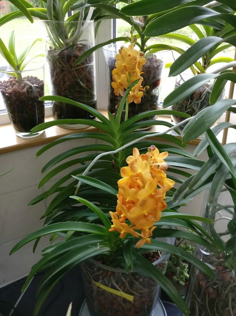 ascocenda orange Img_2096
