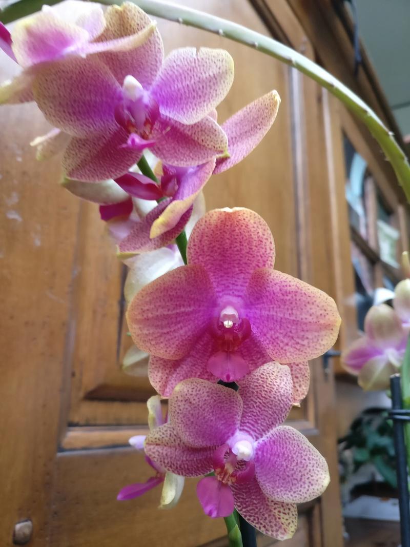 phalaenopsis cuivre bouddha Img_2111