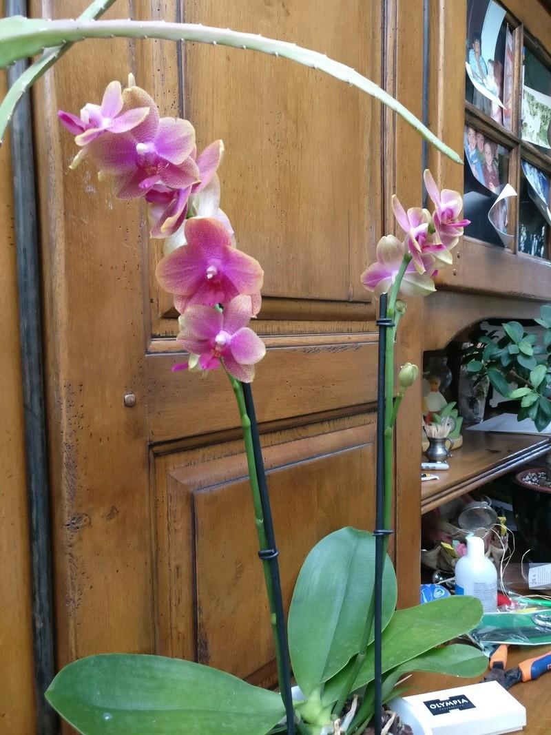 phalaenopsis cuivre bouddha Img_2112