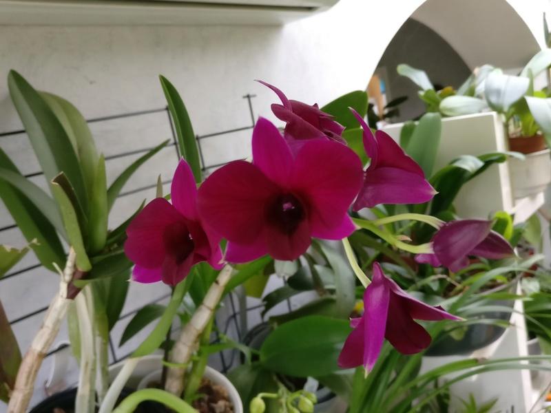 Dendrobium de type phalaenopsis thai black - Page 3 Img_2127