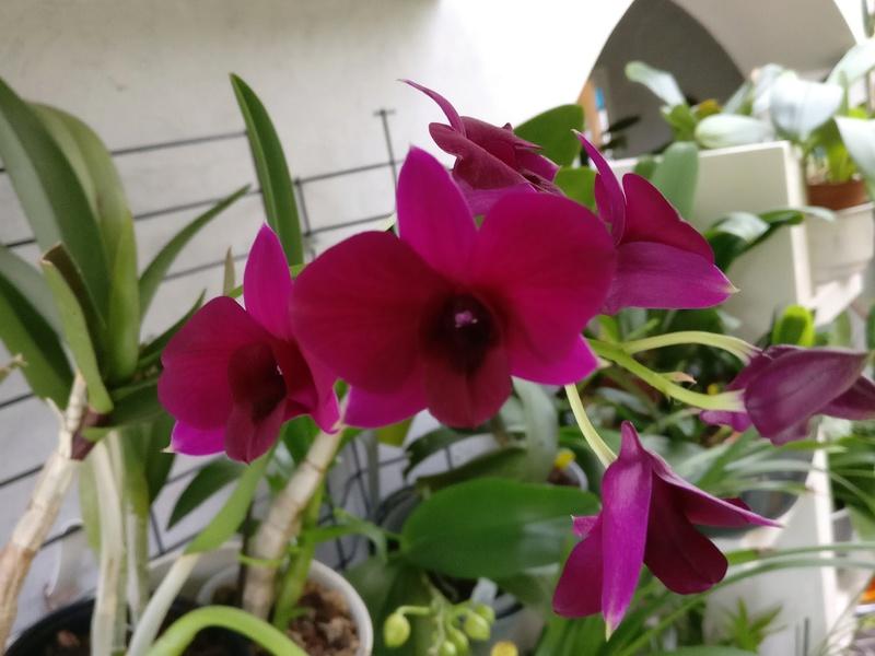 Dendrobium de type phalaenopsis thai black - Page 3 Img_2128