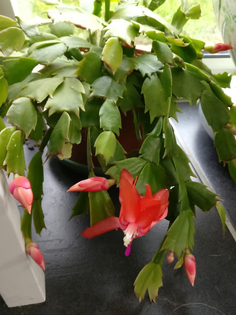 cactus de noel Img_2135