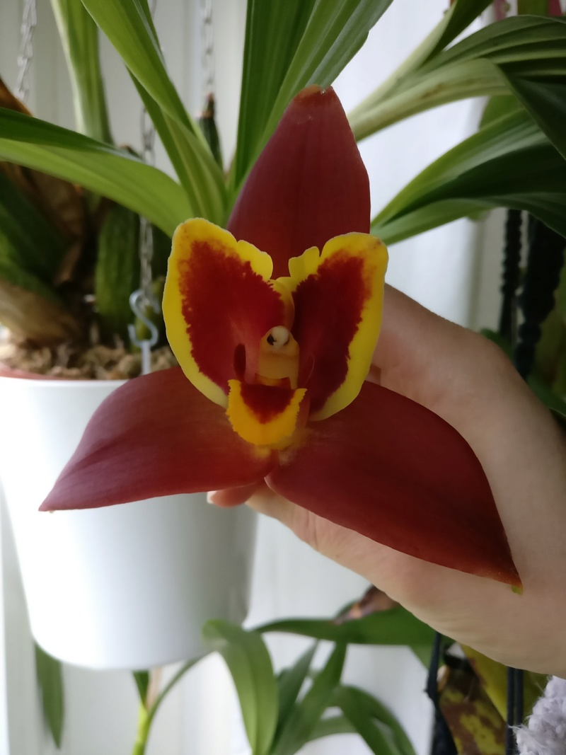lycaste red jewel Img_2145