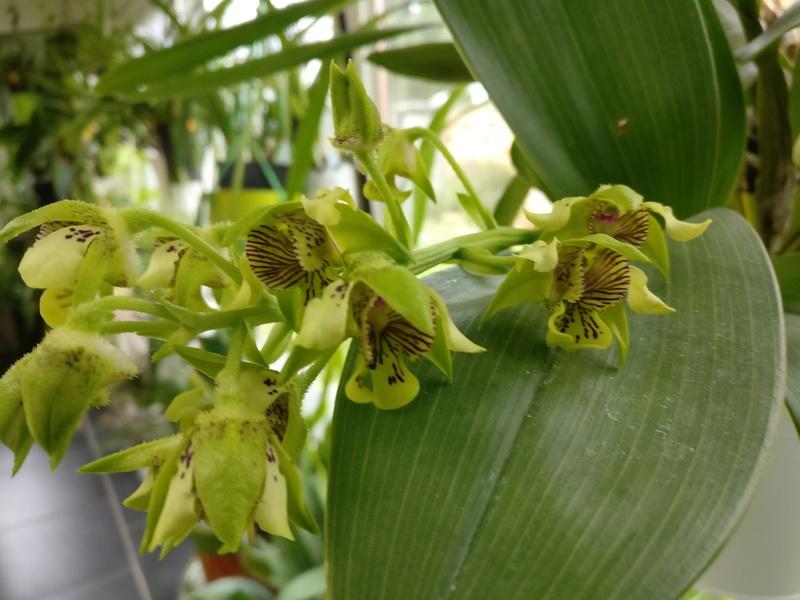 dendrobium macrophyllum Img_2175