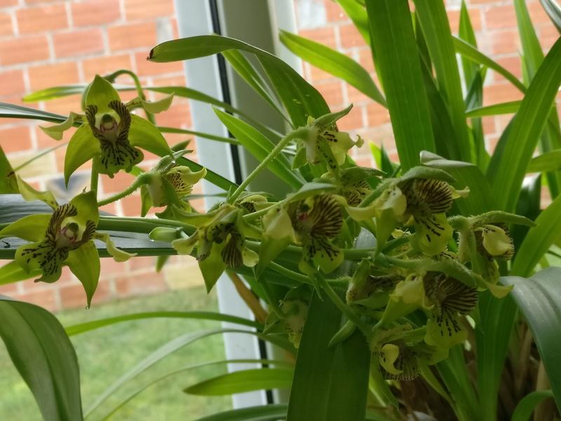 dendrobium macrophyllum Img_2190