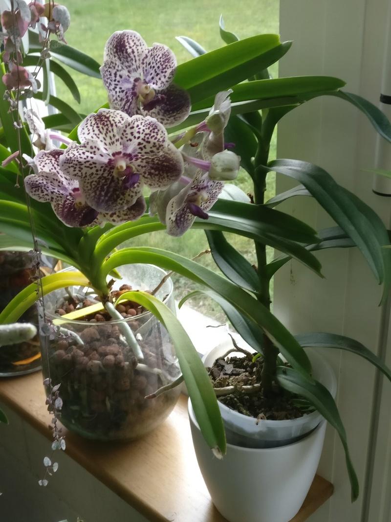 Vanda hybride violet spoty Img_2206