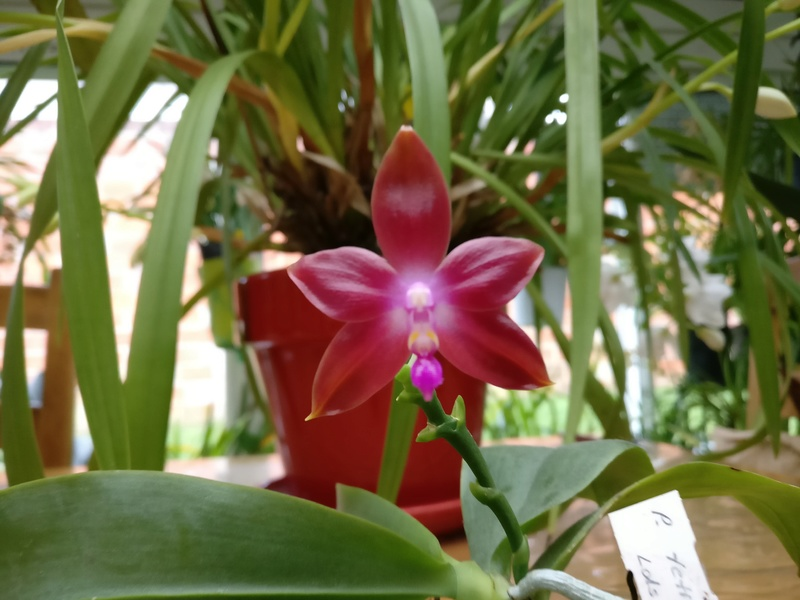 phalaenopsis Tetraspis c1 x ld's bear queen Img_2221