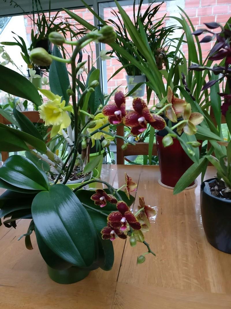 phalaenospsis bordeau et jaune Img_2223