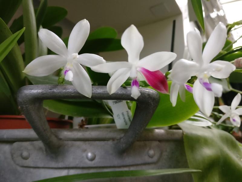 phalaenopsis tetraspis c1 Img_2226