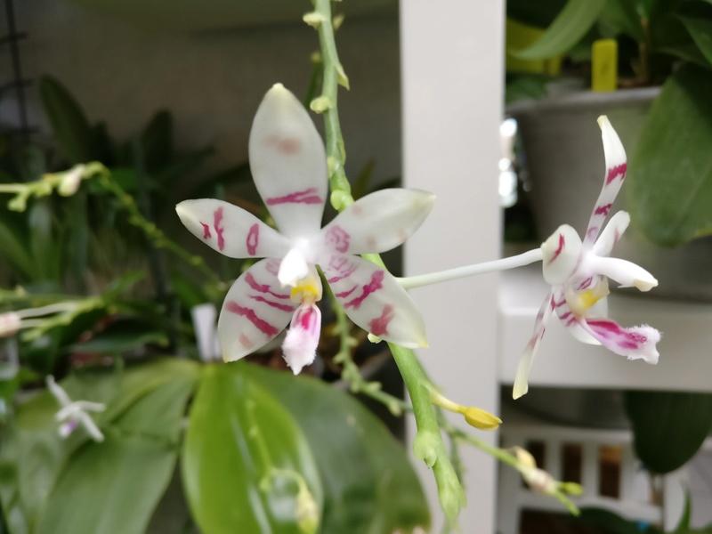 phalaenopsis amboinensis white x tetraspis  - Page 2 Img_2227