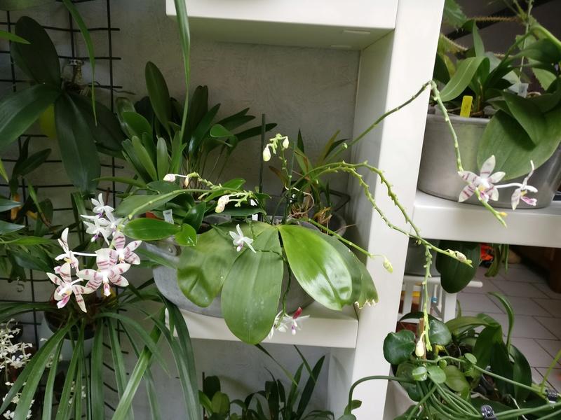 phalaenopsis amboinensis white x tetraspis  - Page 2 Img_2228