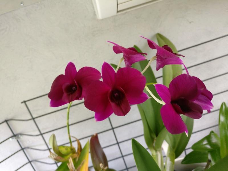 Dendrobium de type phalaenopsis thai black - Page 4 Img_2229