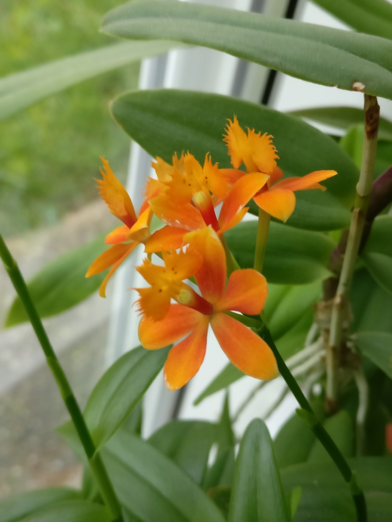 epidendrum ibaguense - Page 3 Img_2261