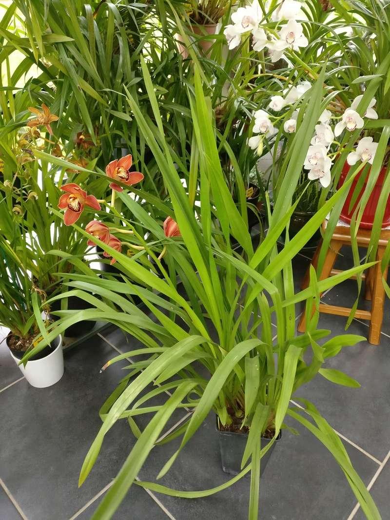Cymbidium fay flor... à vendre Img_2270