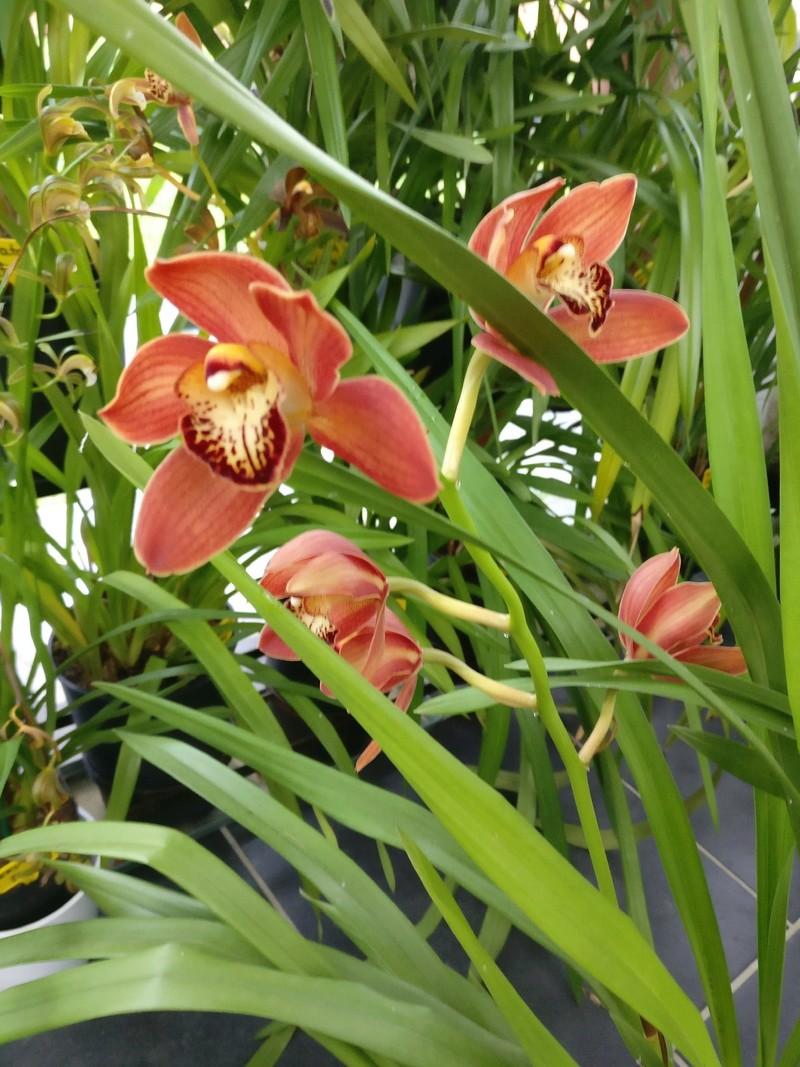 Cymbidium fay flor... à vendre Img_2271