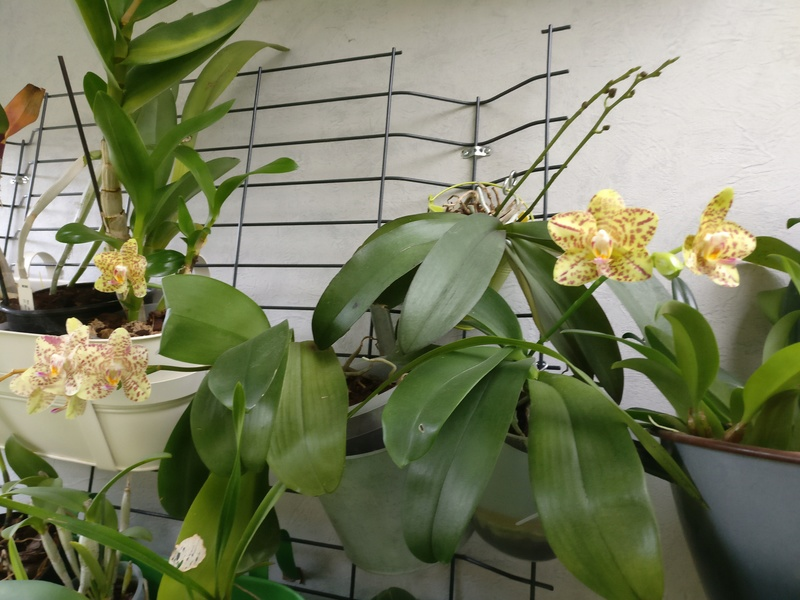 phalaenopsis calistyle - Page 3 Img_2284