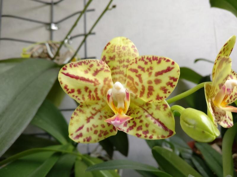 phalaenopsis calistyle - Page 3 Img_2285