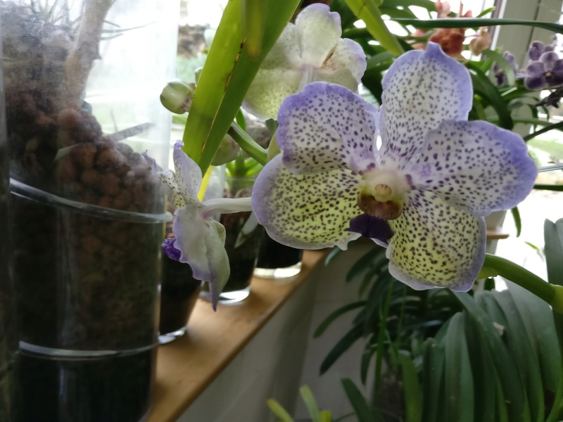 vanda moonlight blue - Page 3 Img_2288