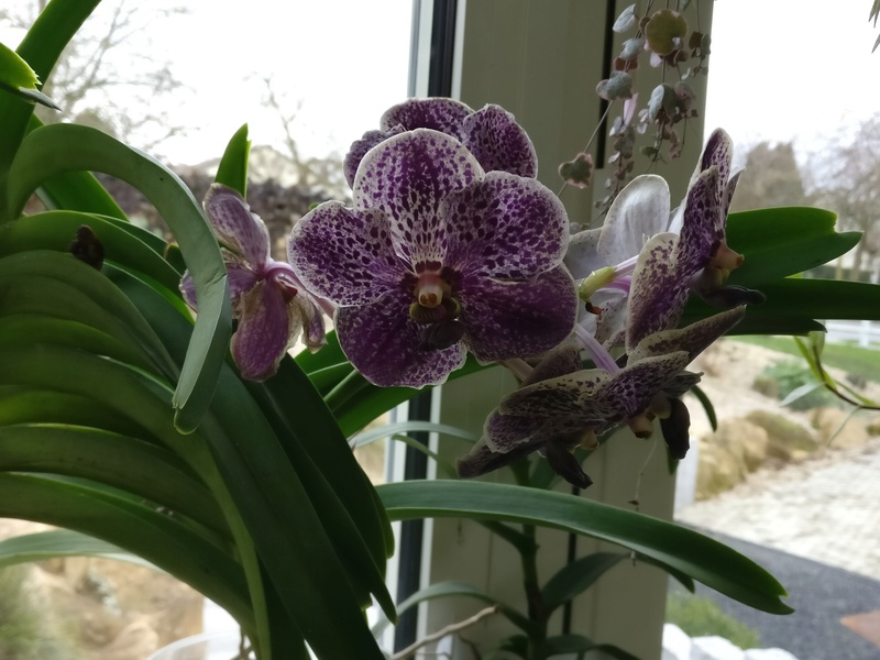 vanda moonlight blue - Page 3 Img_2302