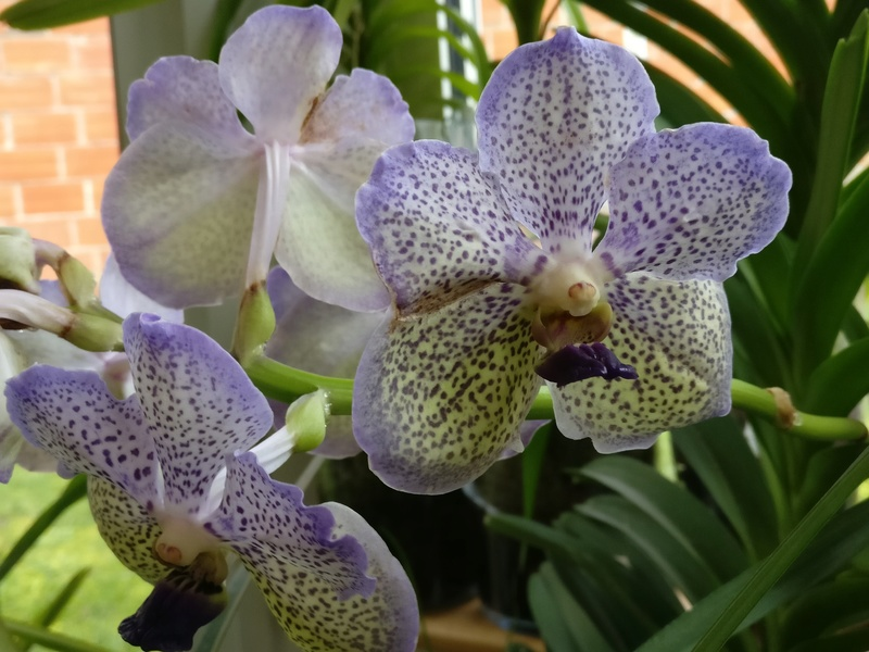 vanda moonlight blue - Page 3 Img_2303