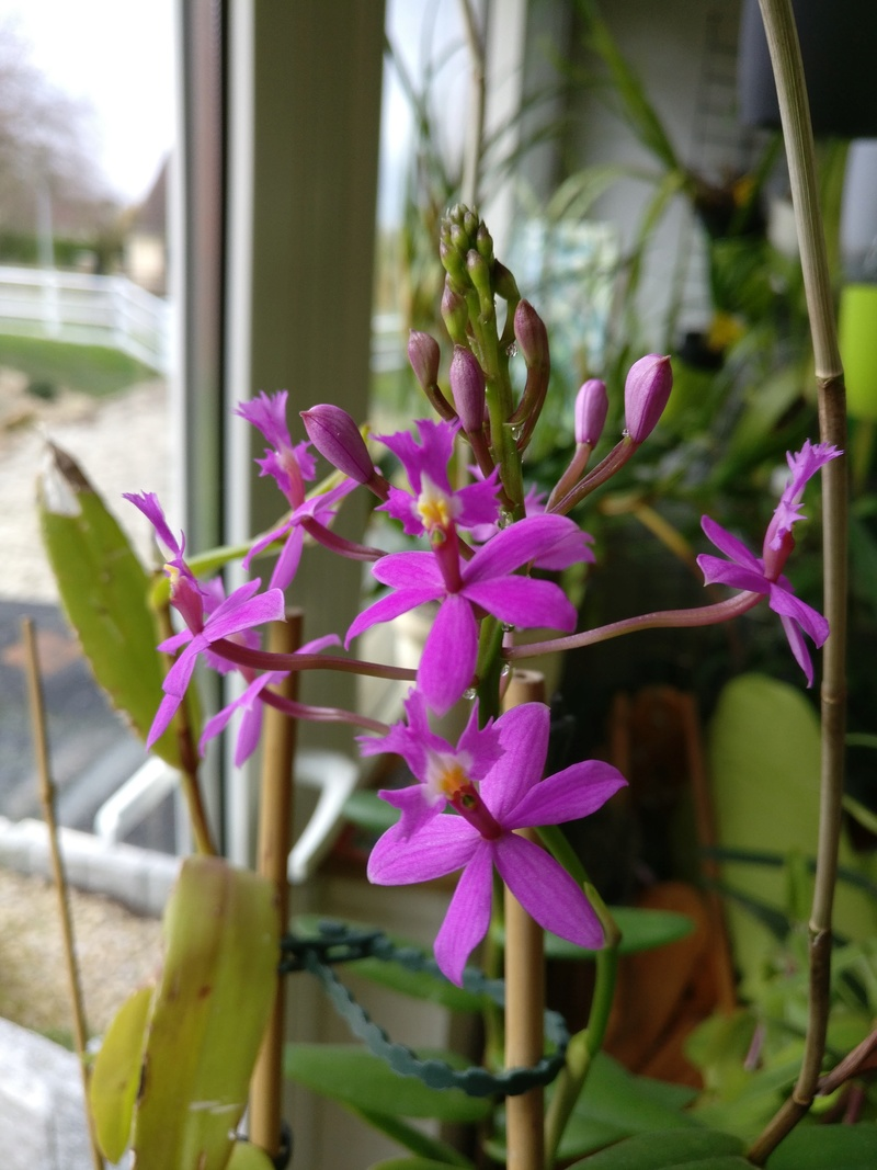 epidendrum ibaguense - Page 3 Img_2309