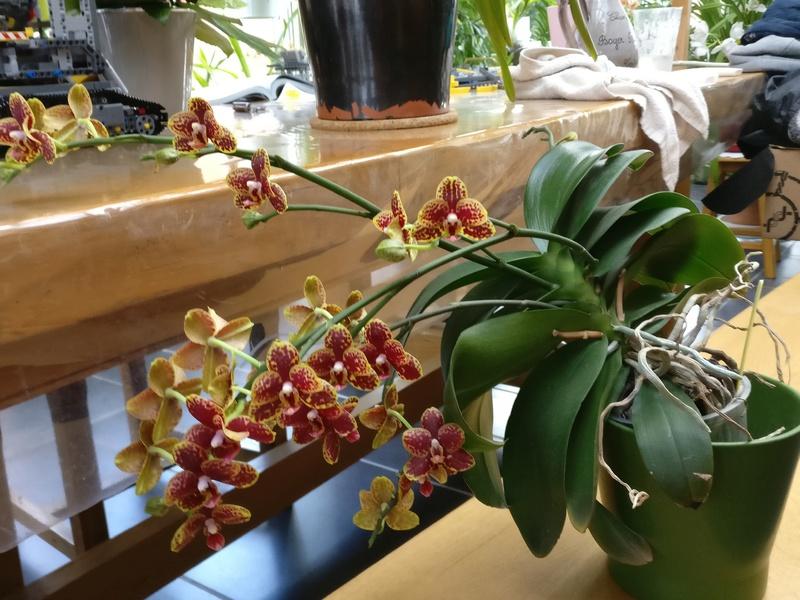 phalaenospsis bordeau et jaune Img_2317