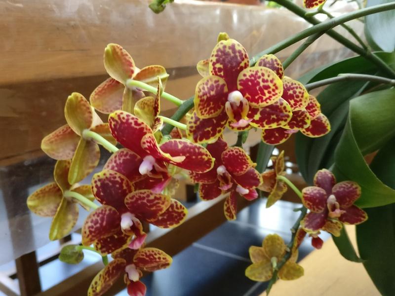 phalaenospsis bordeau et jaune Img_2318