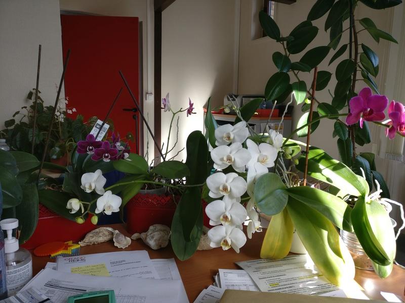 phalaenopsis au bureau Img_2325