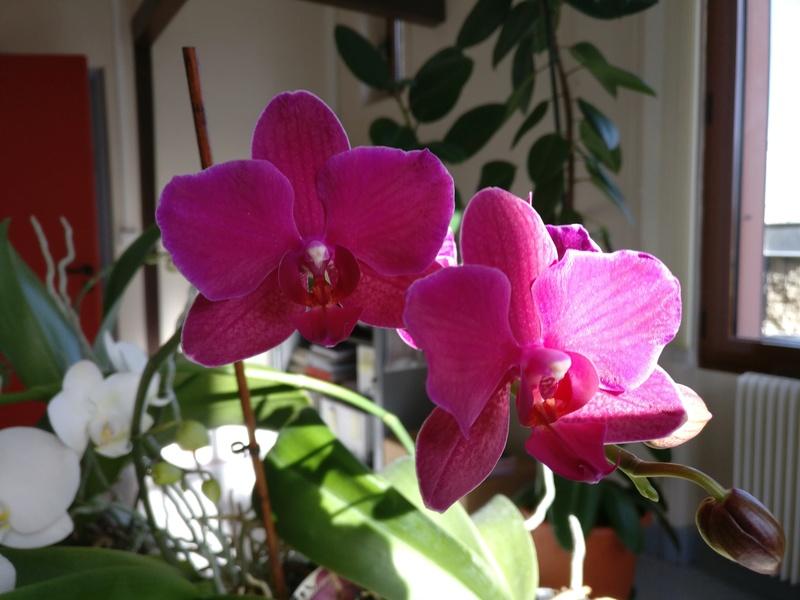 phalaenopsis au bureau Img_2327