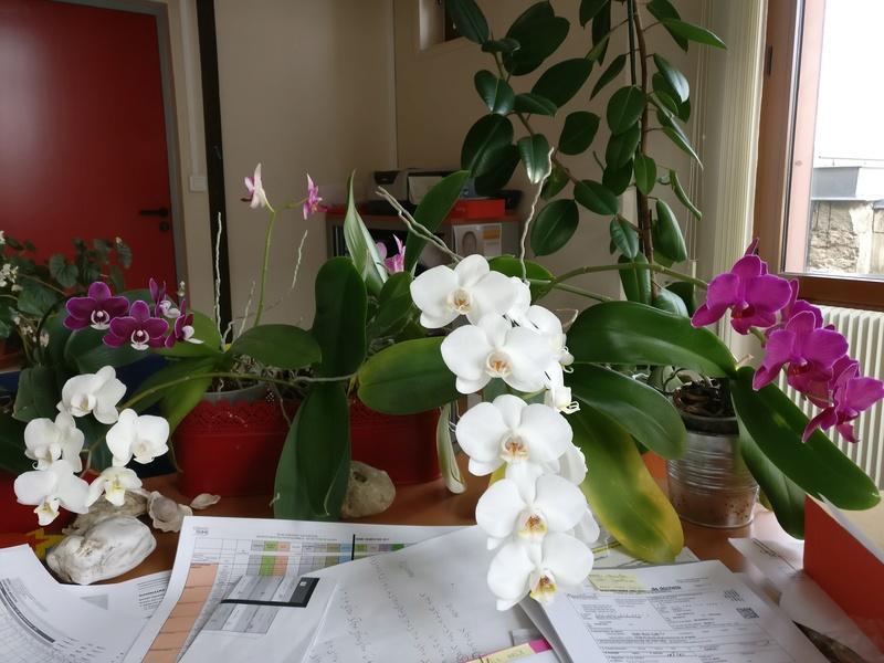 phalaenopsis au bureau Img_2349
