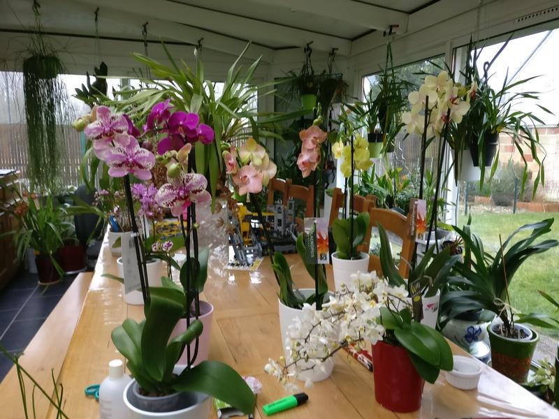 Mes phalaenopsis. Dernières acquisitions Img_2350