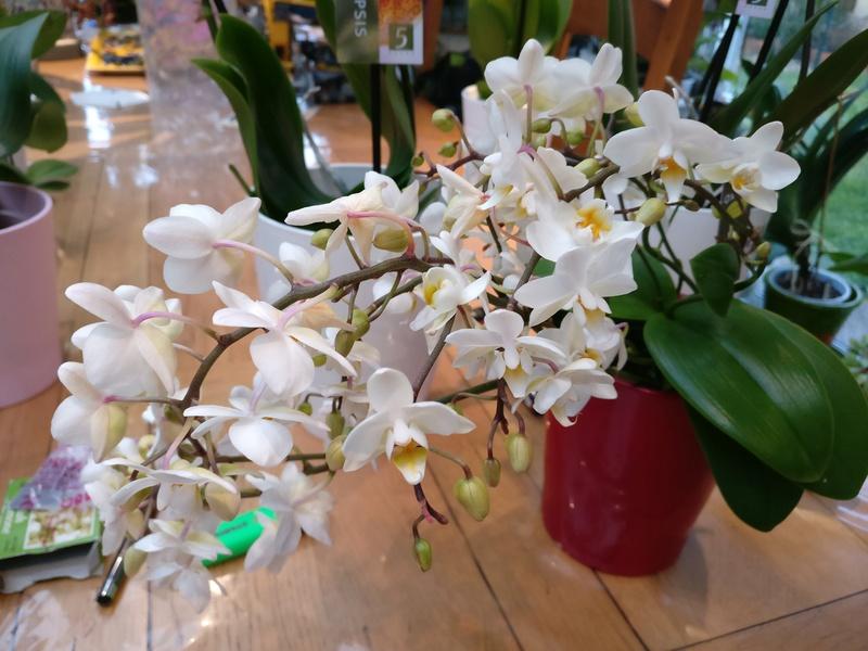Mes phalaenopsis. Dernières acquisitions Img_2351